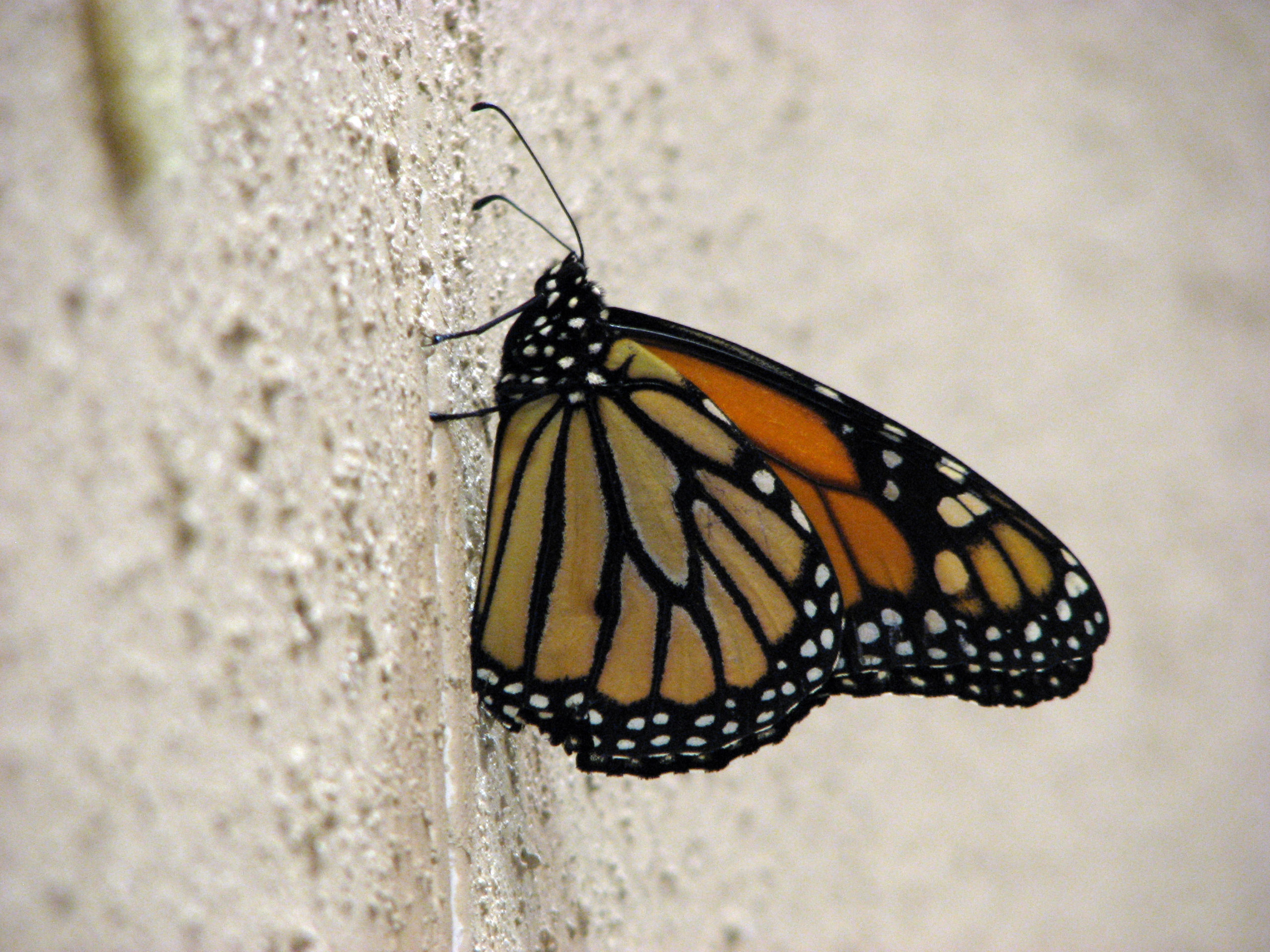The presence of this beautiful monarch butterfly inspired Constituency Leaders Council members at their Oct. 6–8 meeting in Schiller Park, Ill., as a symbol of metamorphosis, transformation and hope. (Photo by Annette Brill Bergstresser)